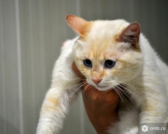 Кот Шакрии - король тайцев