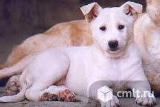 Продам щенка ханаанской собаки