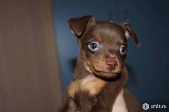 Продам щенков той-терьера. Фото 1.