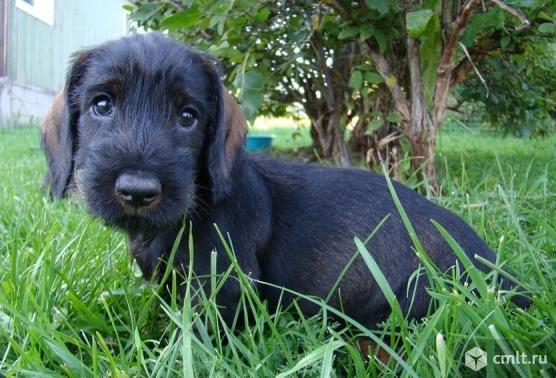 Продам щенка жесткошерстной таксы