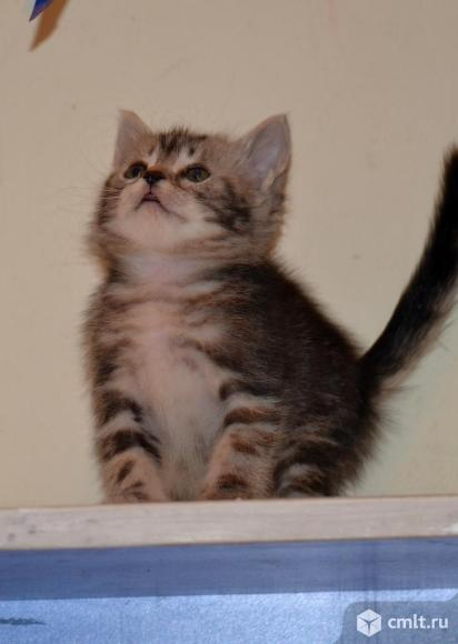 "Котенок - девочка с окрасом ""тэбби"". Фото 1."