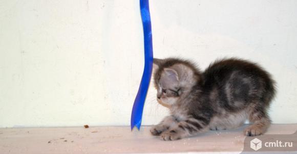 "Котенок - девочка с окрасом ""тэбби"". Фото 4."