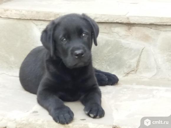 Очаровательные черные и шоколадные щенки