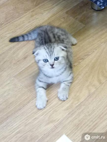 Продам котика шотландского, вислоухого