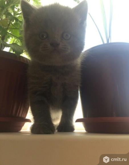 Кошечка фолд  и  котик