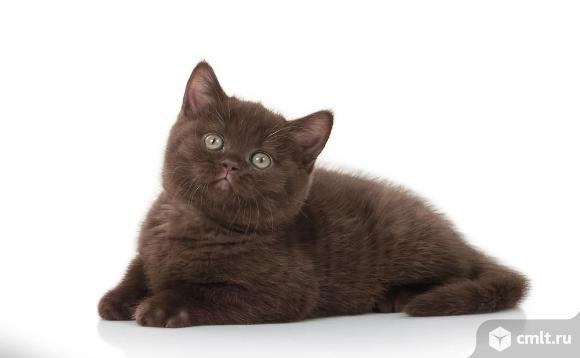 Продаётся шоколадный британский подрощенный котёнок