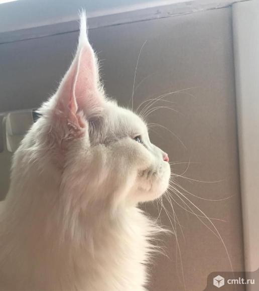 Маленькие львята котята мейн-кун