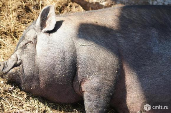 Супоросные  свиноматки  и  молодые  свинки. Фото 1.