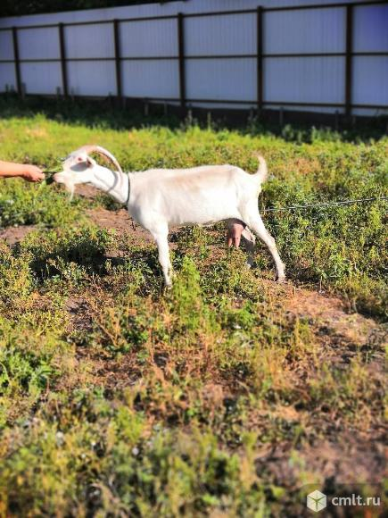 Продается дойная коза