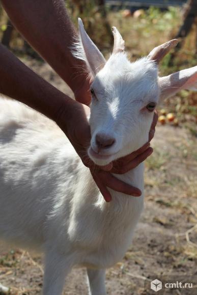 Продаём козу