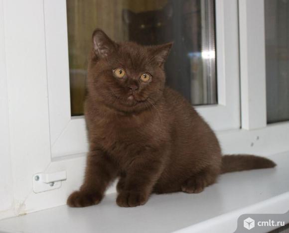 Шотландский  шоколадный котёнок.