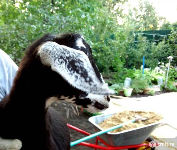 Козлик нубийский. Фото 1.