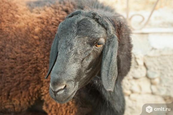 Овцы, бараны, ярочки, ягнята