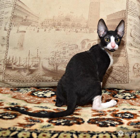 Котята корниш -рекс