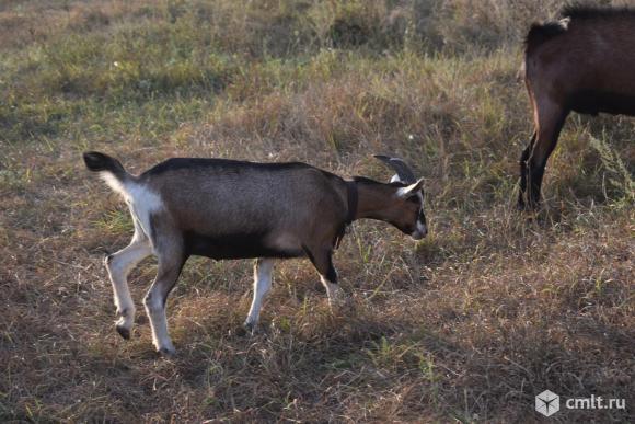 Альпиские, Чешские козы. Фото 3.