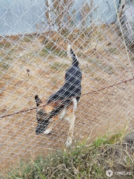 Восточноевропейская овчарка. Фото 3.