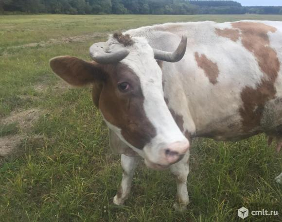 Продам корову. Фото 1.