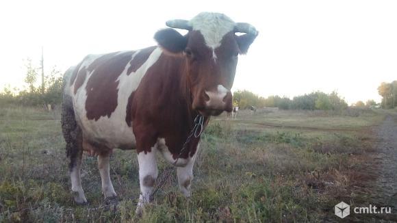 Продам корову. Фото 4.