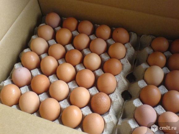 Инкубационное яйцо бройлера, гусят, утят, цыплята. Фото 1.