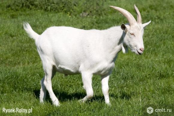 Дойные молодые козы