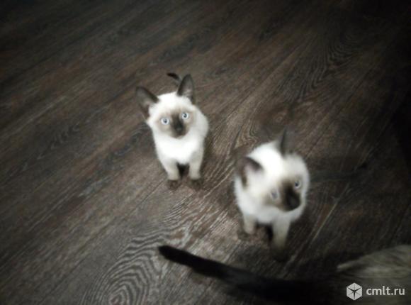 Тайский котенок. Фото 6.