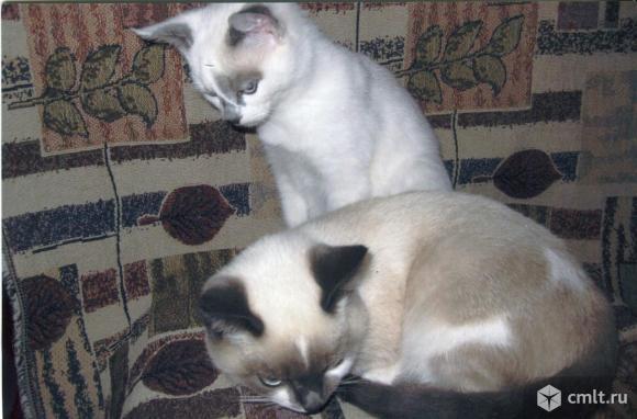 Помесный сиамский котенок, 4.5 мес., девочка. Фото 1.