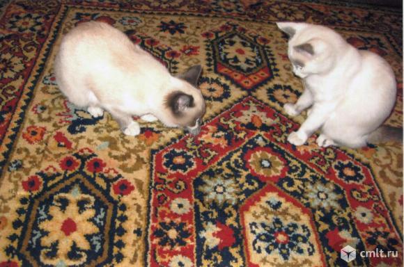 Помесный сиамский котенок, 4.5 мес., девочка. Фото 2.