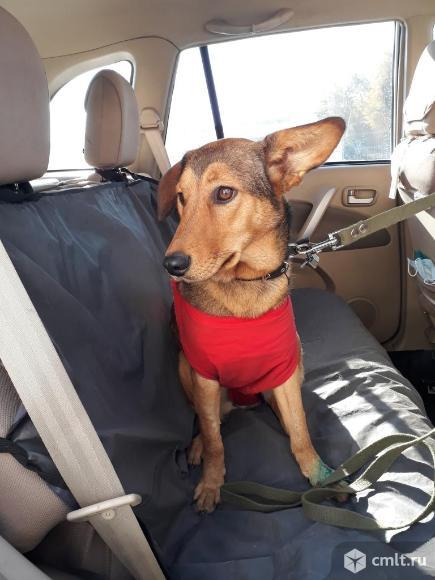 Таксообразная стерилизованнная собачка в дар. Фото 1.
