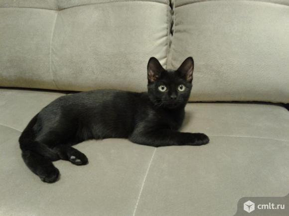 Коричневый котенок в хорошие руки. Фото 1.