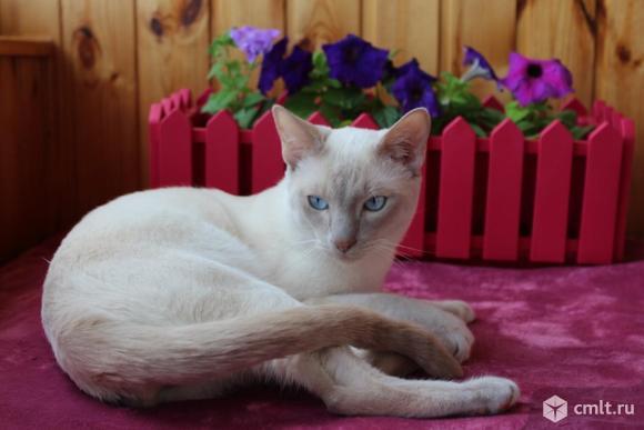 Тонкинский котик. Фото 1.