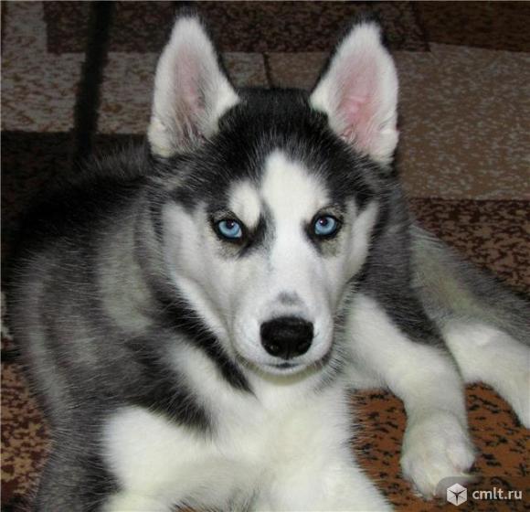 Продам щенка хаски. Фото 1.