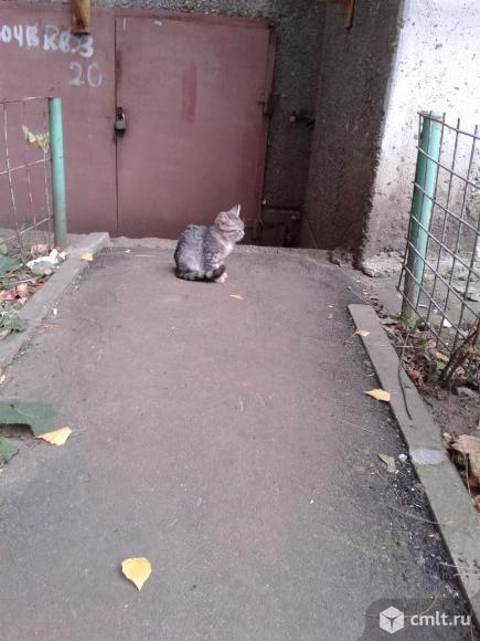 Серый  котенок   в  добрые  руки