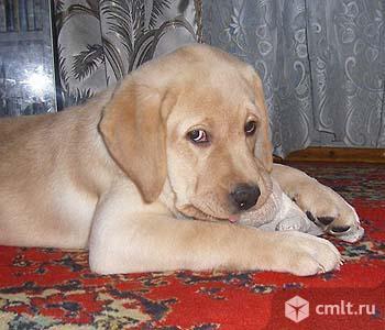 Продам щенка лабрадорчика