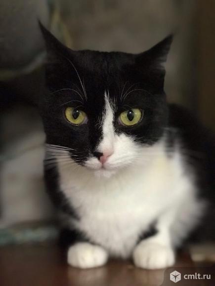 Моррис- кот-джентельмен классического окраса