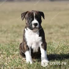 Продам щенка Стаффордширского терьера