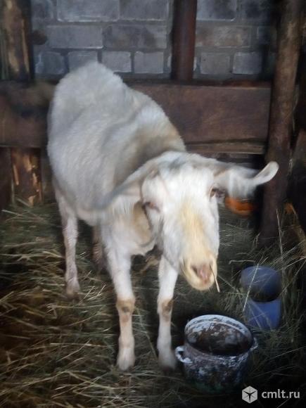 Продается породистая зааненская коза