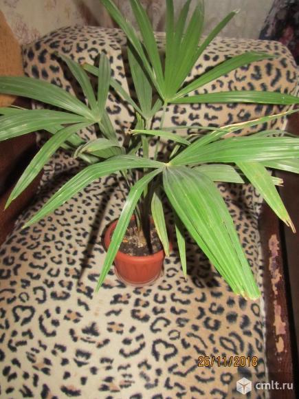 Пальма веерная. Фото 3.