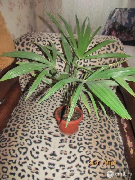 Пальма веерная. Фото 1.