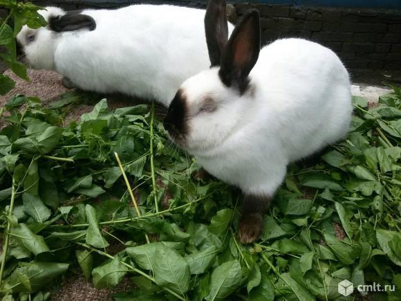 Продам кроликов. Фото 1.