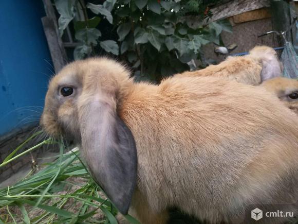 Продам кроликов. Фото 4.