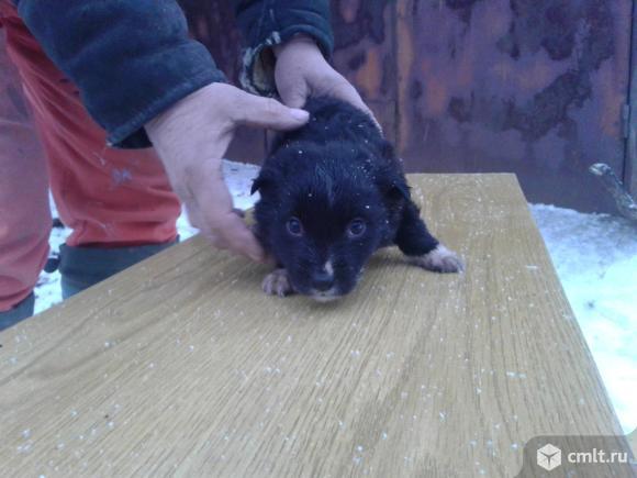 Щенок  черного  окраса  в  хорошие  руки. Фото 1.