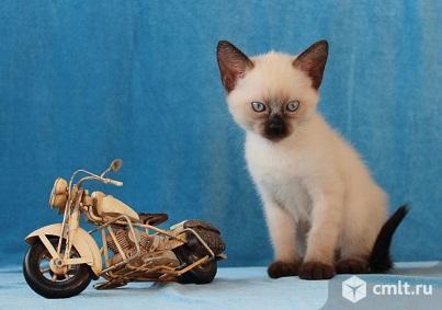 Продам тайских котят. Фото 1.