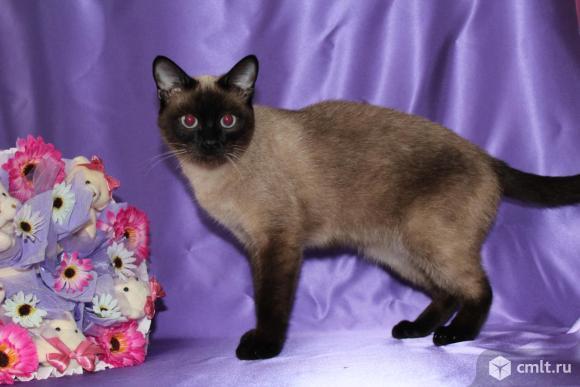 Продам тайских котят. Фото 3.