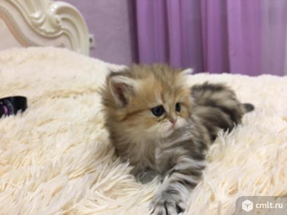 Мраморные котятки редкого окраса!