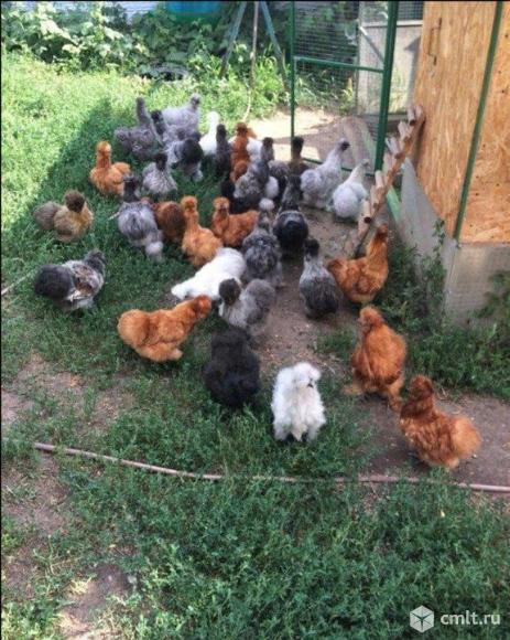 Инкубационное яйцо китайских шёлковых кур. Фото 3.
