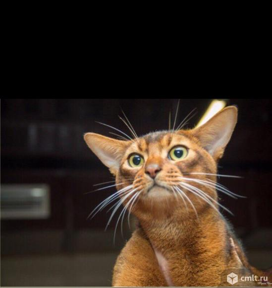 Абиссинская кошка,Wcf, питомник miolgolopiatin, возможна продажа в разведение, торг, вязка