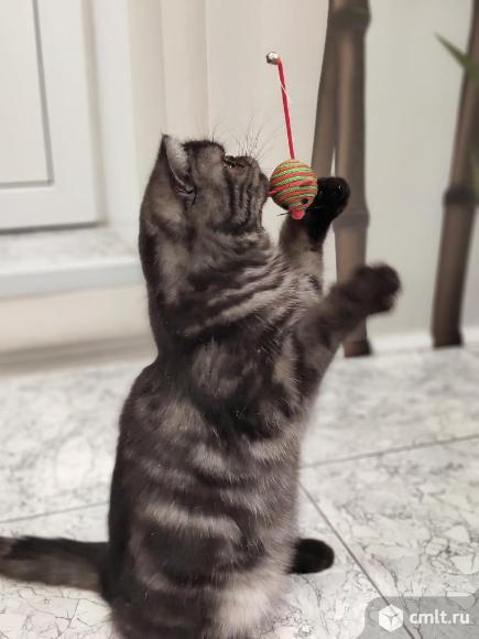 Кот экзот. Фото 3.