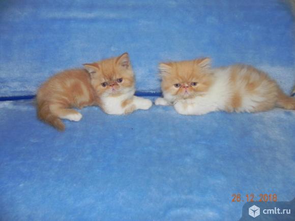 Экзотические котята.. Фото 1.