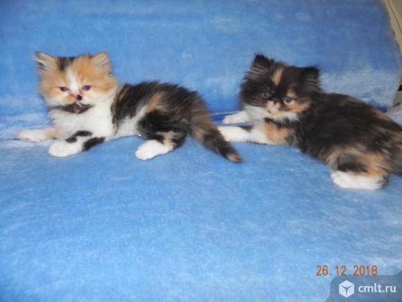 Экзотические котята.. Фото 9.
