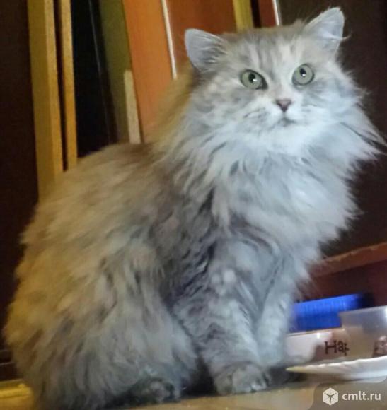 Персидская брошенная кошка Соня в добрые руки. Фото 1.